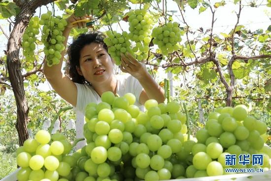 河南温县:特色农业助力乡村振兴(图)