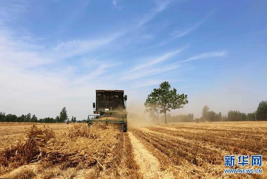 2019年6月11日,河南省民权县野岗镇郑庄村,村民在田间抢收小麦。