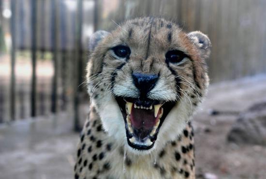 这是郑州市动物园展出的猎豹(12月18日摄)。