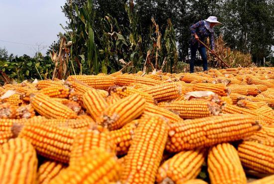 9月12日,河南省新郑市观音寺镇唐户村村民在晾晒收获的玉米。