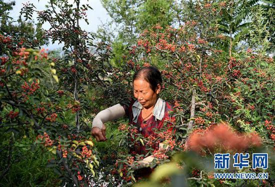 9月7日,河南省灵宝市豫灵镇杨家村村民在采摘花椒。 新华社记者 郝源 摄