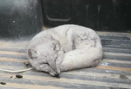 博爱民警救助受伤狐狸 希望它能早些回家