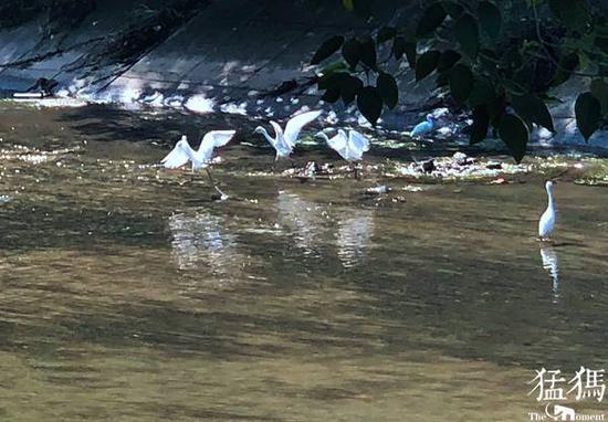 组图:大群白鹭光顾郑州闹市河道