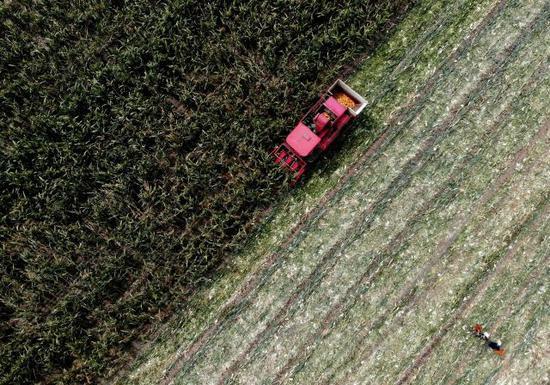 9月12日,河南省新郑市观音寺镇大董村村民使用收割机收割玉米。