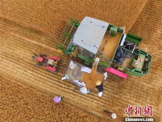 图为淮阳县白楼镇杜庄村农民在收割小麦。 齐永 摄