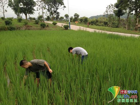 图为同学们在种植水稻。受访者供图