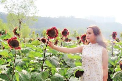 冷艳独特的黑色向日葵惹得游人纷纷走进花丛拍照