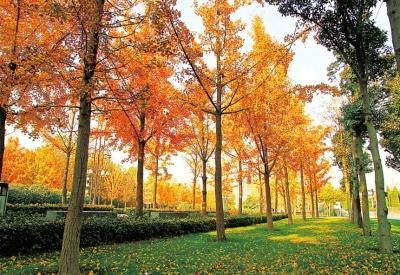 郑州植物园的银杏树一片黄灿灿