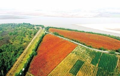 黄河富景生态园,位于郑州市惠济区花园口镇八堡村北黄河滩,园里种植着新品种:彩红杨。叶子是金黄色的树苗连成一片,煞是好看。