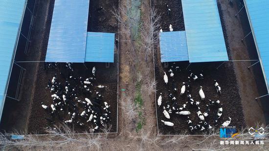 3月3日,河南省武陟县北郭乡西余会村,无人机?#33050;?#21040;的一家养牛场。