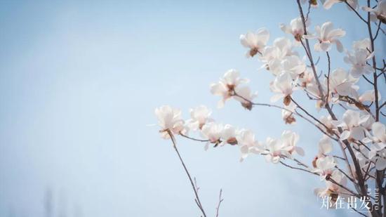 △ 白玉兰