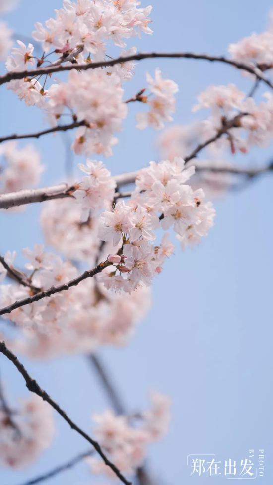 东京樱花差不多属于早樱一类,