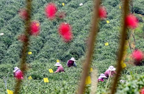 茶农在河南信阳一家茶场采摘茶叶。新华社记者 朱祥 摄