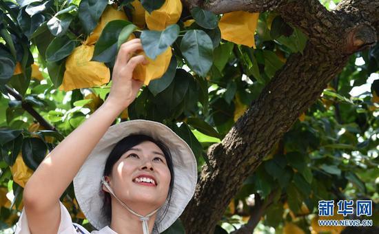 7月30日,游客在刘杨庄村的梨园采摘。