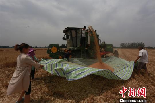 图为淮阳县白楼镇杜庄村农民利用晴好天气,抢收小麦,力保颗粒归仓。 齐永 摄