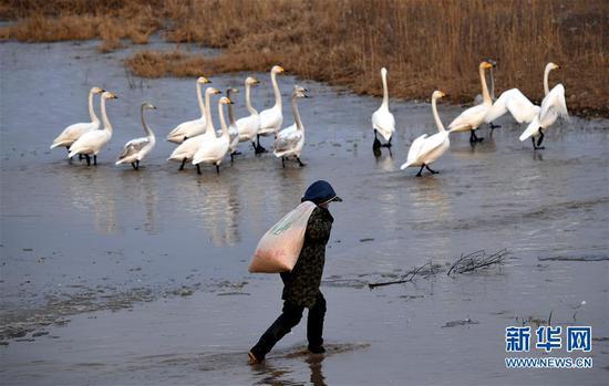 黄河湿地管理处的工作人员准备向白天鹅聚集区抛撒食物(1月3日摄)