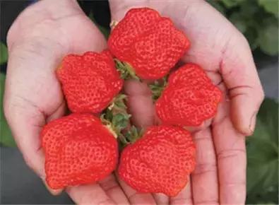 首先,看品种。个头大的草莓多呈圆锥形,如果形状太奇怪就要谨慎。