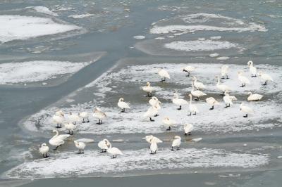 为让天鹅顺利越冬,三门峡做了多种准备。