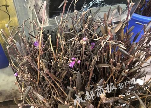 三圣万福花卉市场,商家售卖的野生兴安杜鹃