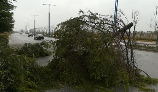 8级大风侵袭周口 路边大树被连根拔起