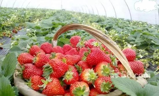 最后,正常草莓甜度高且甜味分布均匀。激素草莓吃起来寡淡无味、闻着不香。