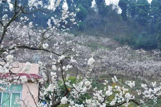 樱桃沟山路漫漫,是户外徒步的好地方。这开在土丘之上的樱花,比城中更漂亮。