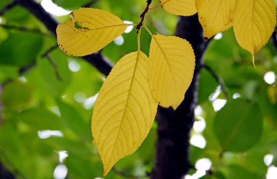 树叶变黄 早晚凉凉 郑