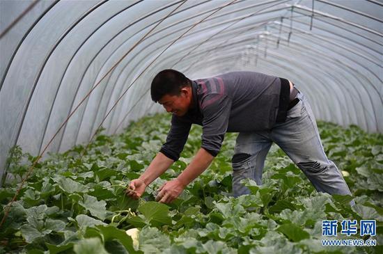 在郸城县秋渠乡任岭村的甜瓜大棚内,村民在做掐秧等管护工作(4月23日摄)。新华社记者张浩然摄