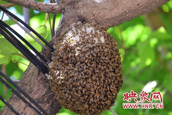 梦见蜜蜂窝_郑州小区惊现足球大蜜蜂窝 巡防员将其迁野外(图)