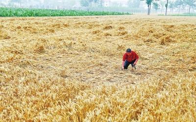 6月5日上午,荥阳市广武镇黑李村,农户郭先生家成熟的麦子大片倒伏。