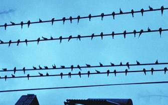 新郑数万只燕子电线杆上集会