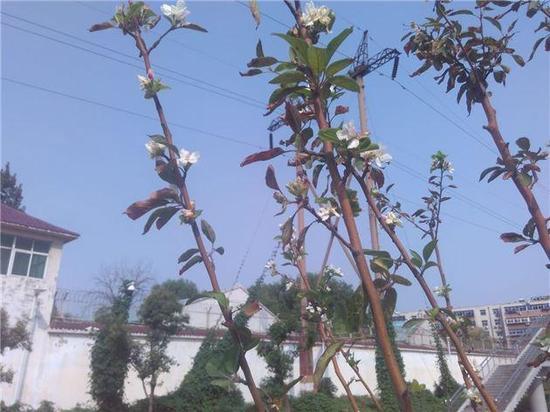 郑州海棠树本该春天开花却秋天怒放
