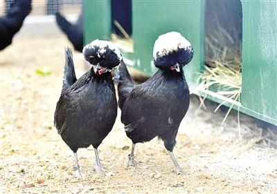 鬼灵粹�*�i)�ad�n��aczg_郑州动物园来了一批珍稀雉鸡 两只还是爆炸头(图)