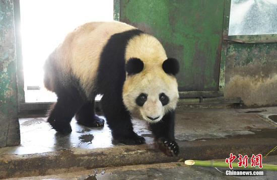 被持续关注的网红大熊猫蜀兰,近日被网友晒出照片,称其9个月消瘦60斤,体重迅速下降,显得瘦骨嶙峋。当日,记者来到兰州市动物园熊猫馆实地探访了蜀兰,经称重测量后,蜀兰体重为98.2KG,属于正常成年大熊猫体重范围,体质检测各项指标均为正常。中新社记者 杨艳敏 摄