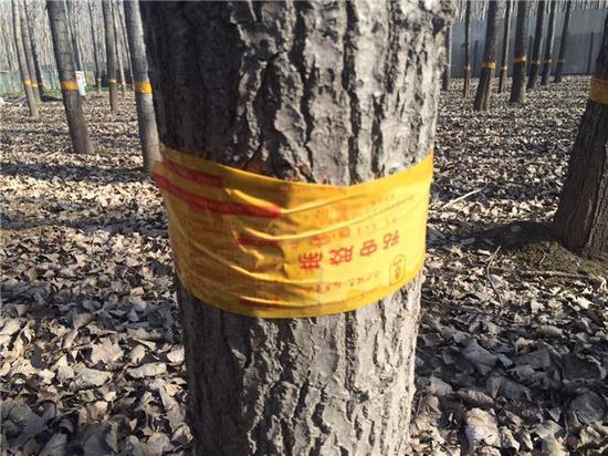 黄河滩的杨树戴了黄手环 粘住经过的害虫饿死它