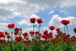 南阳五旬女子盆栽罂粟 称为观赏漂亮红花不犯法