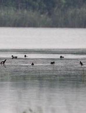 58只青头潜鸭安家河南 全球仅存500只