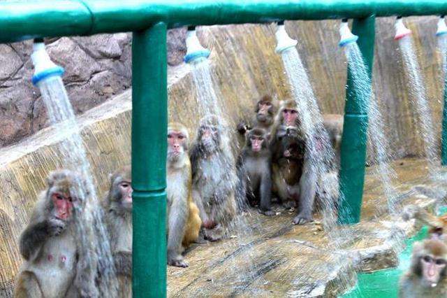 济源酷暑难耐 上百野生猕猴扎堆冲凉