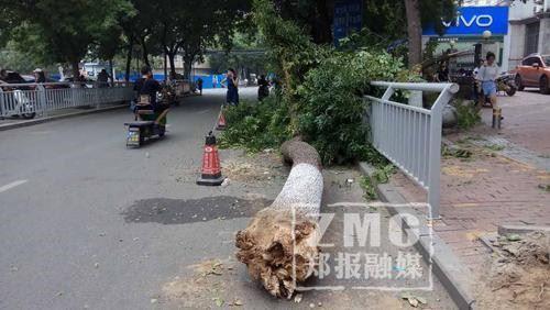 郑州街头一棵白蜡树被渣土车撞倒 已进行清理
