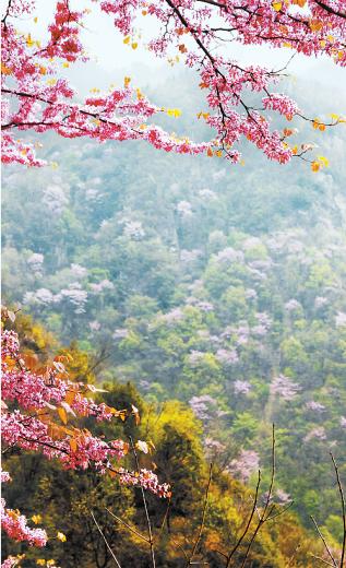 老君洞紫荆花