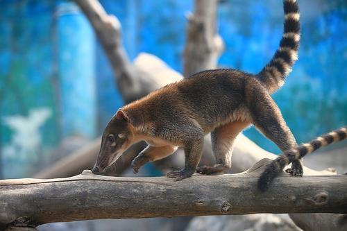 野外的长鼻浣熊主要在夜间行动,冬天会在树洞中过冬,它自己会把食物