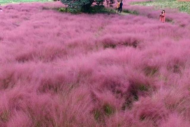 郑州龙湖现罕见粉红色草原 吸引诸多市民观赏