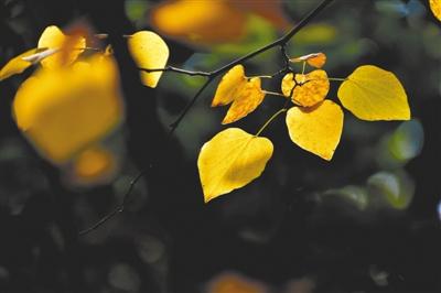 树叶黄,天气凉。 郑报融媒记者 马健 图