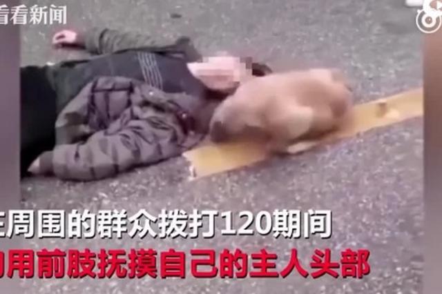 主人街头突然晕倒 狗狗用前肢试图叫醒