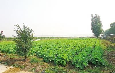 黄河边的农庄种植的蔬菜