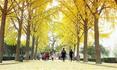 人民公园南门,最美的银杏大道。