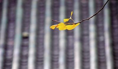 人民公园,枝头金黄的银杏叶。