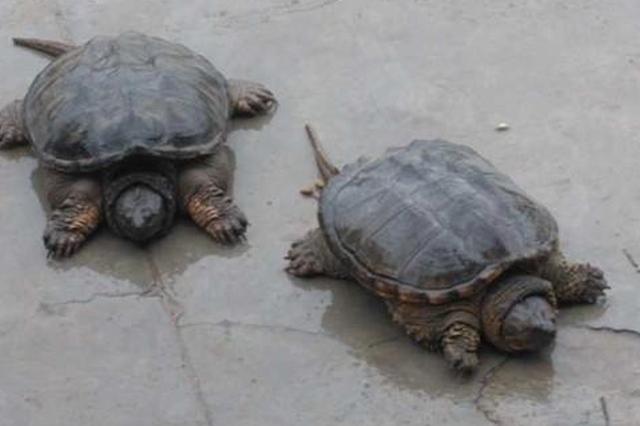 """郑州女子花900元买了两只""""神龟"""" 准备放生时被阻止"""