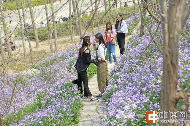 郑州西流湖小野花开满山坡 紫色铺满大地