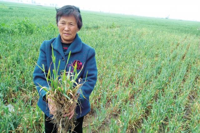 延津多地小麦枯死村民疑买到假种子 农业局:因倒春寒